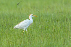 Bydła egret w polu Fotografia Royalty Free