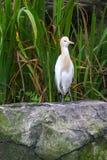 Bydła Egret w ptaka parku (Bubulcus ibis) Zdjęcia Stock