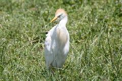 Bydła Egret w zielonej trawie Zdjęcie Royalty Free