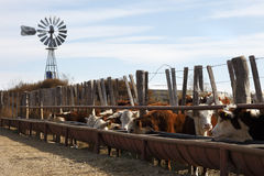 bydła hereford Zdjęcia Stock