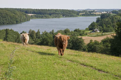 bydła jezioro Zdjęcie Royalty Free