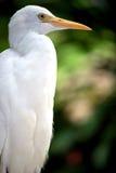 bydło egret profil Zdjęcia Stock