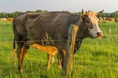 Bydło - krowy Zdjęcia Stock