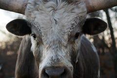 bydło longhorn Teksas Zdjęcie Royalty Free