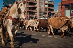 bydło longhorn Texas Zdjęcie Stock