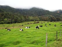 Bydło pola w mój polu, Sabah Zdjęcie Royalty Free