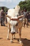 Bydło rynek, Kluczowy Afera, Etiopia, Afryka Zdjęcia Stock