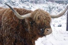 bydło zima Zdjęcie Royalty Free