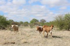 Bydła pasanie w veldt Zdjęcie Royalty Free