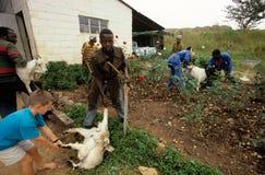 Bydlę uprawia ziemię w Południowa Afryka. Zdjęcia Stock