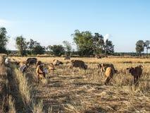 Bydlę uprawia ziemię w polach zdjęcie stock
