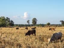 Bydlę uprawia ziemię w polach obrazy stock