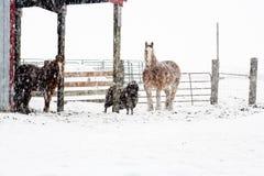 bydlęcia śniegu burza Obrazy Royalty Free