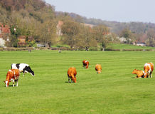 bydło łąka angielska pastwiskowa Zdjęcie Royalty Free