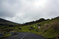 Bygdväg med att beta kor på äng på vägrenen Royaltyfria Foton