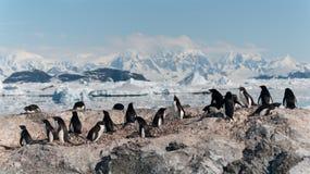 Bygga bo den Adelie pingvinkolonin, Yalour öar, antarktisk halvö arkivbilder