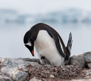 Bygga bo den vuxen människaGentoo pingvinet med den unga fågelungen, antarktisk halvö arkivfoton