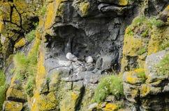 Bygga bo för Seabirds Royaltyfria Bilder