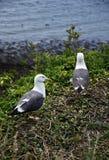 Bygga bo för Seagulls Arkivbilder