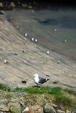 Bygga bo för Seagulls Arkivbild