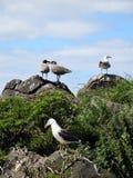 Bygga bo för Seagulls Arkivfoto