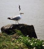 Bygga bo för Seagulls Royaltyfri Bild