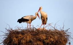 Bygga bo för storkar Fotografering för Bildbyråer