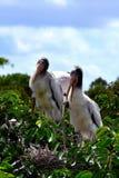 Bygga bo för två wood storkar Fotografering för Bildbyråer