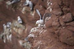 Bygga bo havsfåglar Royaltyfri Foto