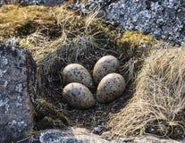 Bygga bo med ägg av Kuliken-forty på en ö i det vita havet Ryssland royaltyfria foton