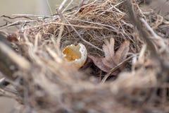 Bygga bo med ett ägg Arkivbild