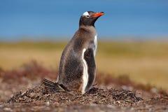 Bygga bo pingvinet på ängen Gentoo pingvin i äggen för redeintelligens två, Falkland Islands Djurt uppförande, fågel i redet med Arkivbilder