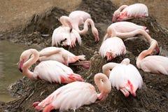 Bygga bo Rose Flamingo med engelska i rede Arkivfoto