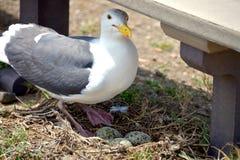 Bygga bo seagullen på jordning med gröna ägg arkivbild
