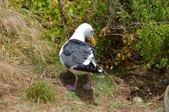 Bygga bo seagullen på jordning med gröna ägg Royaltyfria Foton