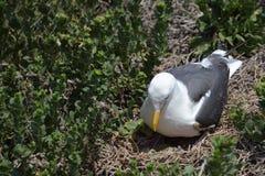 Bygga bo seagullen på jordning med gröna ägg arkivfoton