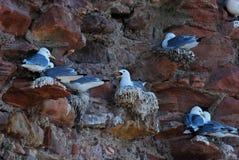 Bygga bo seagulls Royaltyfria Foton