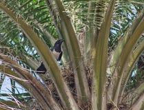 Bygga bo skatan på en palmträd Royaltyfri Bild