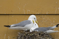Bygga bo tretåig måsfåglar Arkivbild