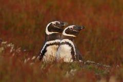 Bygga bo uppförande, natur Två fåglar i bygga bojordhålet, behandla som ett barn med modern, den Magellanic pingvinet, Spheniscus Arkivbild
