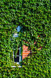 Byggande dold murgröna Royaltyfri Fotografi