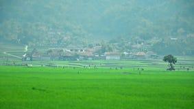 Byinvånare inhyser över ett risfältfält i Ciwidey Arkivfoto