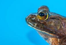 byk żaba Obraz Royalty Free