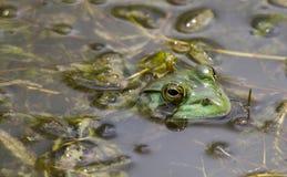 Byk żaby Łowieccy insekty Obrazy Royalty Free
