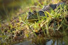 Byk żaba Zdjęcia Stock