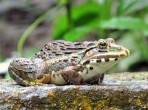 Byk żaba Obrazy Stock