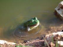 Byk żaby Zdjęcie Royalty Free