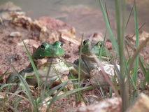 Byk żaby Obraz Stock