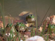 Byk żaby Obrazy Stock