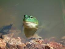 Byk żaby Zdjęcia Stock